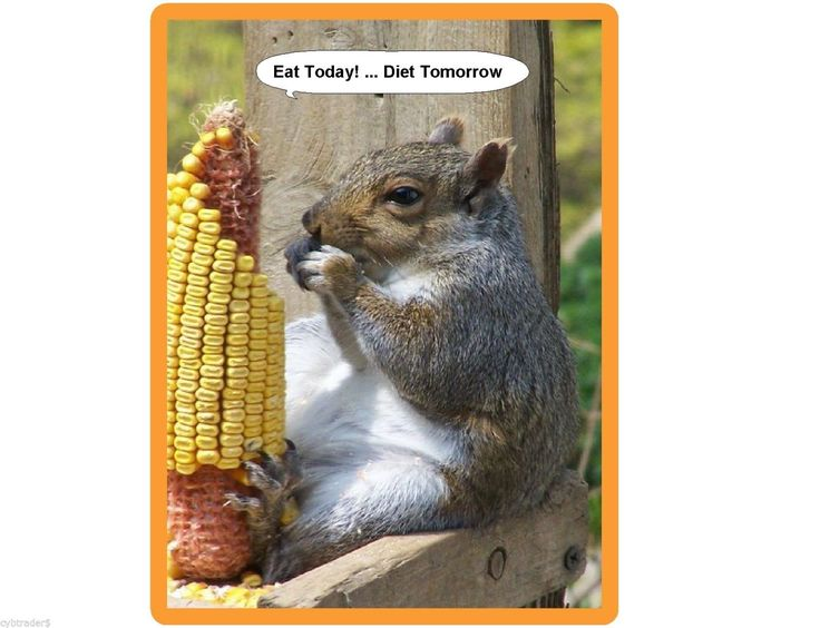 Funny Squirrel Eat Today Diet Tomorrow Refrigerator / Tool Box / Magnet | eBay