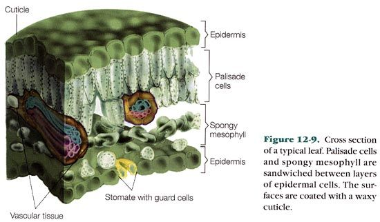 Leaves and Stomata | Biology 2014 | Pinterest | Leaves