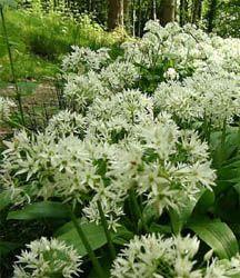 wild garlic in flower in Spring