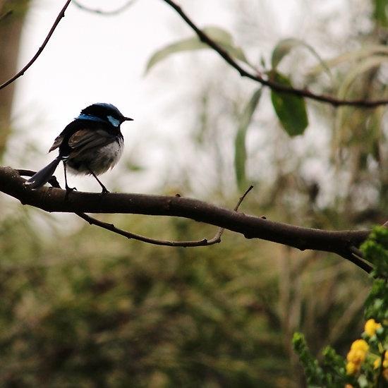 Fairy Wren (Malurus cyaneus) - Blue