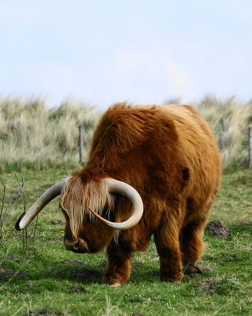 Highland Cow, Scotland // photo by Roger Hall