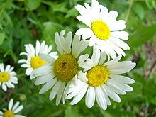 Bellis perennis - Common English Daisy, color ranges from whites to pink. Culinary and medicinal