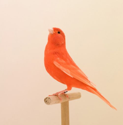 A coral-coloured tweety bird.