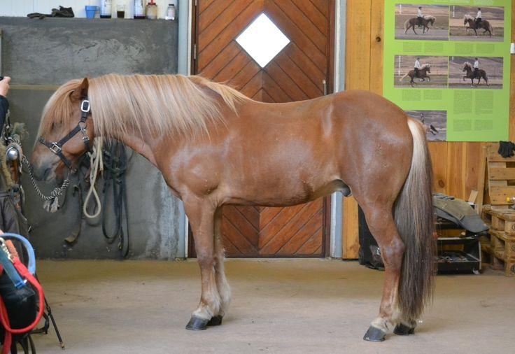 Wallache - icelandic horses for sale