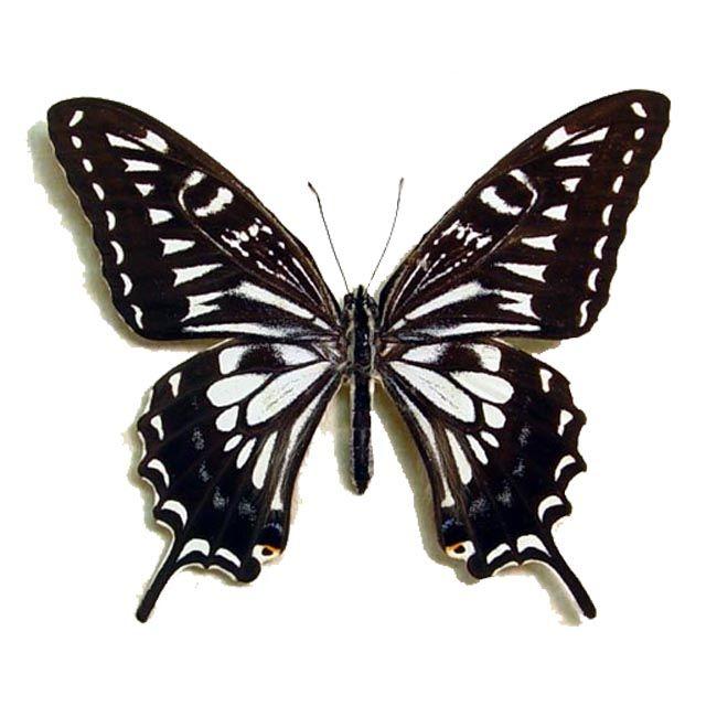 Papilio xuthus Male