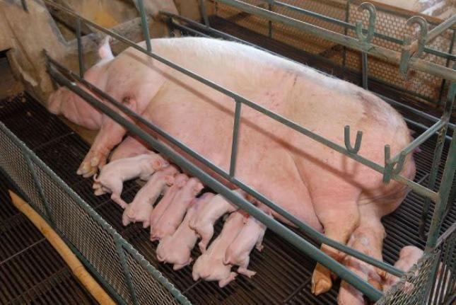 Campanha que pede que a empresa JBS se comprometa com o fim do confinamento de porcas reprodutoras em gaiolas de gestação - prática considerada cruel e já proibida em diversos países.