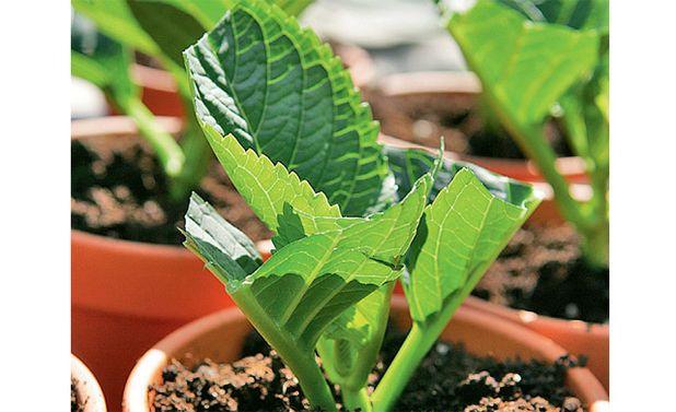 Hortensien  vermehren: Schritt 2 von 3