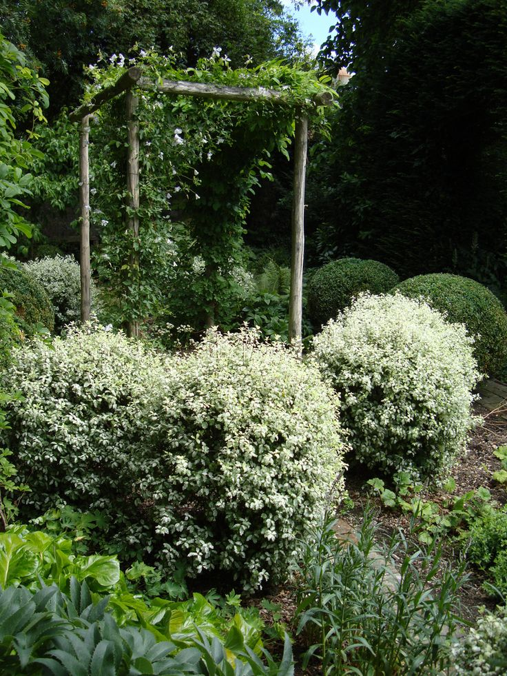 16 best magnolia images on pinterest garden trees for Garden trees kent