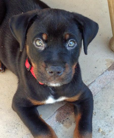 Jorge the Rottweiler Mix -- Puppy Breed: American Pit Bull Terrier / Rottweiler #ThoseEyes!