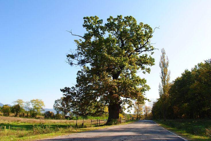 Stejarul secular din Remetea | Bihor in imagini