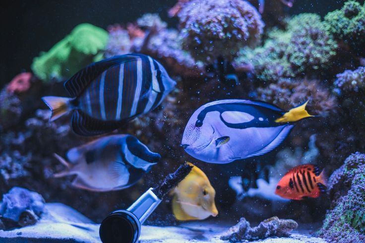 25+ best ideas about Reef safe fish on Pinterest ...