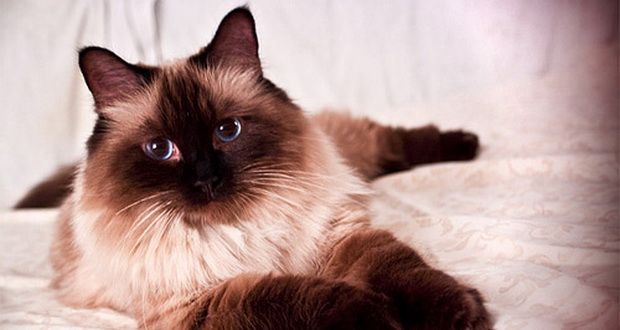 Kucing-Ragdoll-dengan-pola-warna-Point-.jpg (620×330)