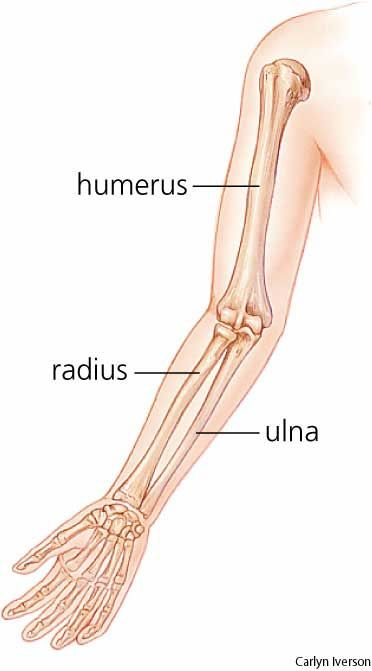 Radius (radial bone) - The shorter of the two longbonesof the forearm, extending from the elbow to the wrist; it is theboneon the thumb side of the arm.