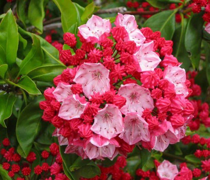 OgrodKroton.pl - Kalmia szerokolistna Ostbo Red- Kalmia latifolia Ostbo Red