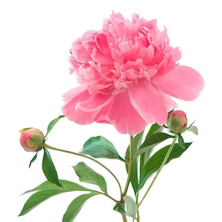 Pink Peony Flower Meaning