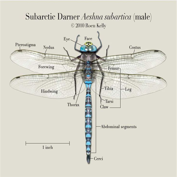 Adult Dragonfly Diagram