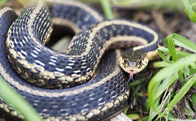 Coiled Garter Snake Google Search Hewan Reptil Binatang