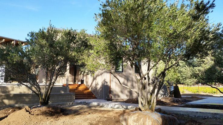 West Coast Olive Trees for Sale, Olive Tree Transplanting, Installations and Care