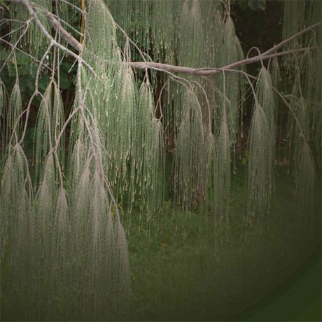 Sheoak (Allocasuarina & Casuarina various) | Australis Incognita
