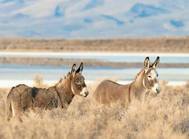 Wild burros via Facebook