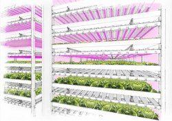 Голландцы начинают промышленно выращивать салат в многоэтажных установках