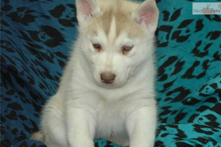 Baby Siberian Huskies for Sale   Baby Mitch a cute Siberian Husky puppy for sale for $800. WOW~~BABY ...