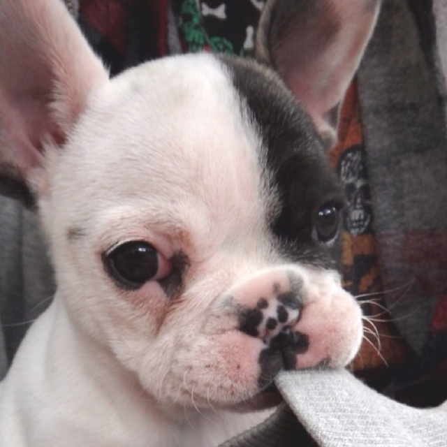 Baby PuppyFrench Bulldogs Puppies, Sweets, Pets, Baby, Frenchie, Puppy'S, French Bulldog Puppies, Boston Terriers Puppies, Adorable Animal