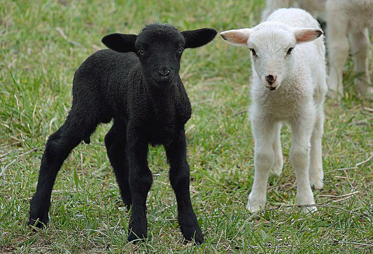 Black and White - L'agneau, autrefois agnel, est le très jeune mouton mâle. La femelle est appelée l'agnelle. Petit de la brebis et du bélier, il s'agit d'un animal d'élevage. Il naît après une période de gestation d'environ cinq mois, la mise bas, ou agnelage, pouvant durer d'une à trois heures. La brebis donne généralement naissance à un ou deux petits.  Le jeune mouton, lorsqu'il est un peu plus âgé, porte alors le nom d'antenais / antenaise.
