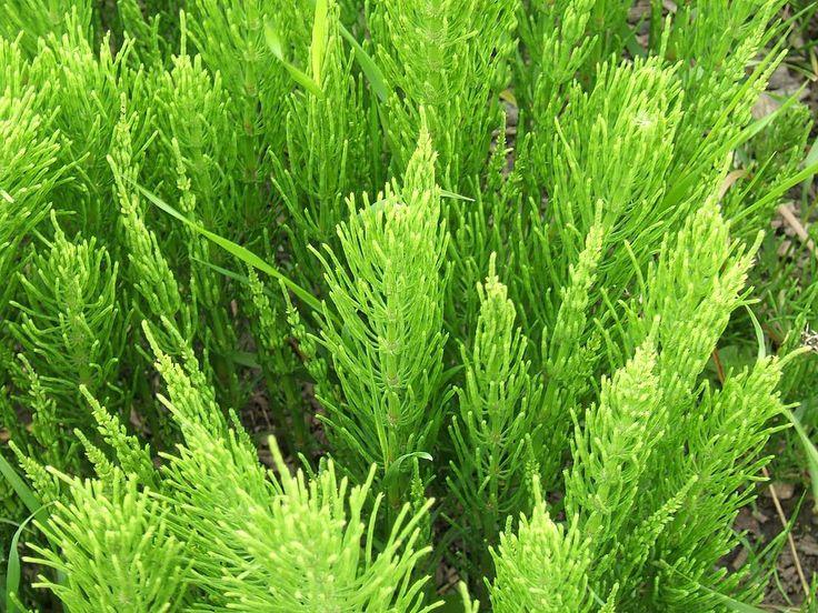 Heermoes Is Geen Lastig Onkruid! | Signaalplant dat bodem mineralen te kort heeft. Lavagruis voegt dat toe, en maakt heermoes overbodig.