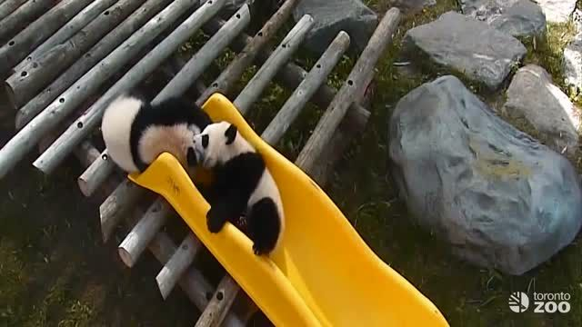 Here are our giant panda cubs ( Jia panpan, Jia yueyue) playing on a slide.