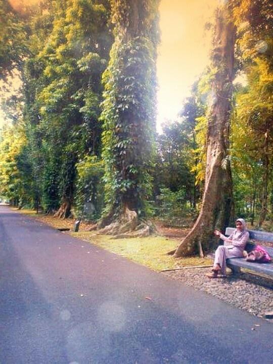 Big trees at bogor botanical garden, Indonesia
