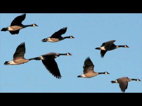 Hauntingly beautiful melody and lyrics! 'Something Told the Wild Geese' sung by HelloShannon, poem/lyrics by Rachel Field  www.yourdailypoem.com/listpoem.jsp?poem_id=522 <> (autumn, fall migration)