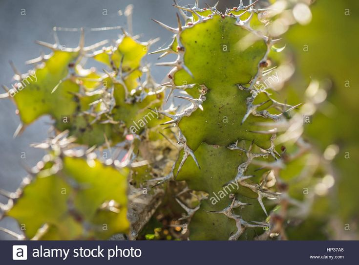 Download this stock image: Spanish green succulent cactus in Fabryary by  macro view - HP37A8 from Alamy's library of millions of high resolution stock photos, illustrations and vectors.