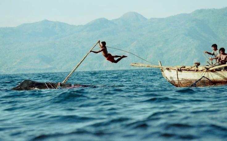 """Tempuling tajam diarahkan ke badan ikan paus yang sedang berenang di lautan. Kemudian """"Lama Fa"""" (juru tikam) meloncat dari atas """"Pledang"""" (perahu). Begitulah kurang lebih proses penangkapan ikan paus di Lamalera yang sudah menjadi tradisi sejak jaman Majapahit."""