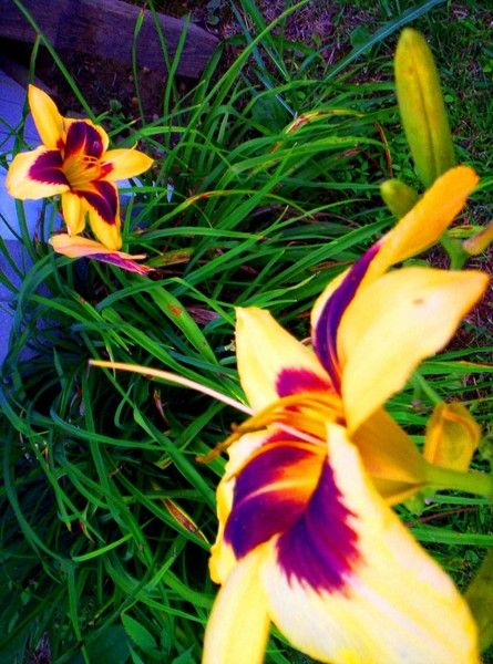 yellow and purple lily by jesi evans | ArtWanted.mobi