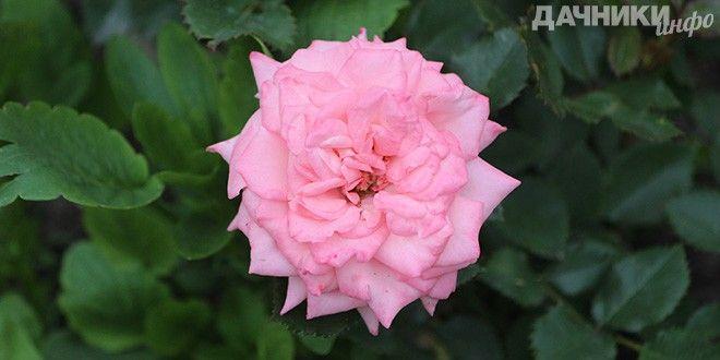 Как правильно размножать розы - Подробности: http://dachniki.info/kak-pravilno-razmnozhat-rozy-3293.html