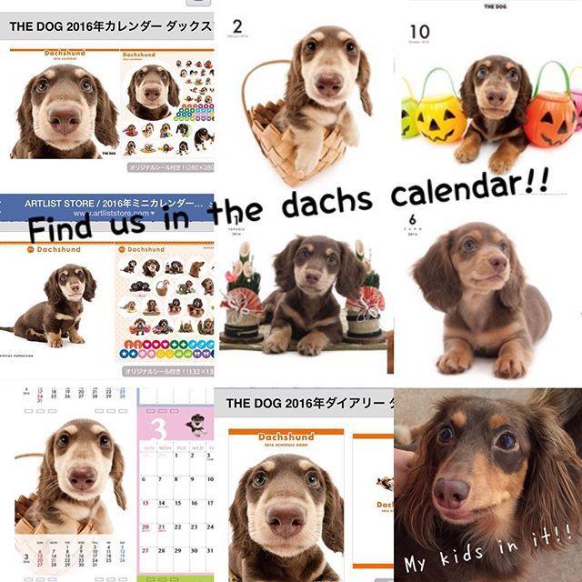 Rose's kids were selected for the dachs calendar 2016!! . 皆さんにご案内させて下さい2016年のダックスカレンダーにまたもやローズの子どもたちが選ばれました去年はうちに残った3キッズとも載ったんですが今年はピノ(小さいカレンダーの6月)とブラン(大きいカレンダーの10月)だけリーフ残念他は表紙に大々的にチェロ介がシアンも選ばれてますこのカレンダー毎年買ってるという方ぜひローズの子どもたちの月をお楽しみにω . #犬 #ダックス #ダックスフンド#短足部#多頭飼い #チョコタン #犬バカ部 #ワンコなしでは生きていけません会#おひとりさまワンコ部 #おひとりさまワンコごはん部#癒しわんこ#犬ごはん#dog#dachs#dachshund #dogsofinstagram #dachstagram #instadachshund #doxie #ふわもこ部