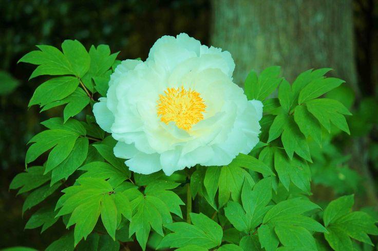 Pivoine, la fleur des princesses pour en savoir plus:  http://livre.fnac.com/a8058043/Nicolas-Chauvat-Les-secrets-des-symboles-des-kimonos-anciens