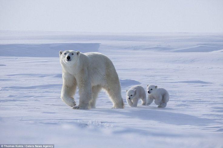 O momento em que dois ursos polares bebés saem da toca pela primeira vez; Com dois meses, os bebés polares estavam protegidos pela mãe. E pelo clima extremo.