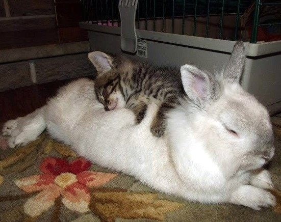 Kitty And Bunny Snuggling