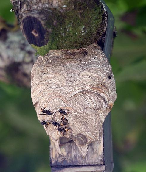 M s de 1000 ideas sobre nido de avispas en pinterest - Como ahuyentar avispas ...