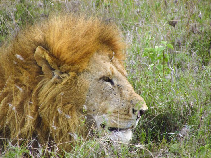 A male lion blending into his environment. #Africa #Travel #Wildlife #Lion