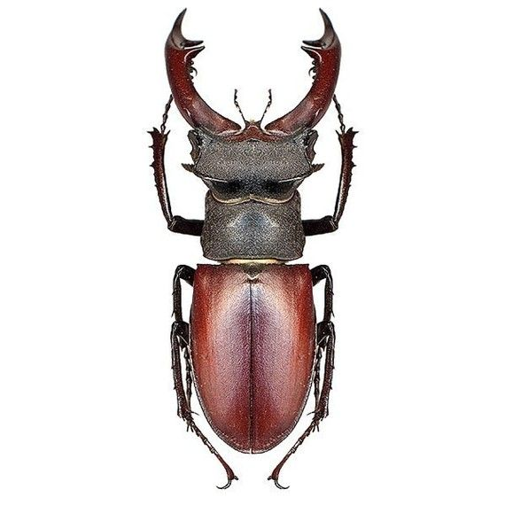 Larger Pincher Brown Beetle Vinyl Decal   In Stock • $2.75 Etsy  will do custom sizes and I think your own decals too.