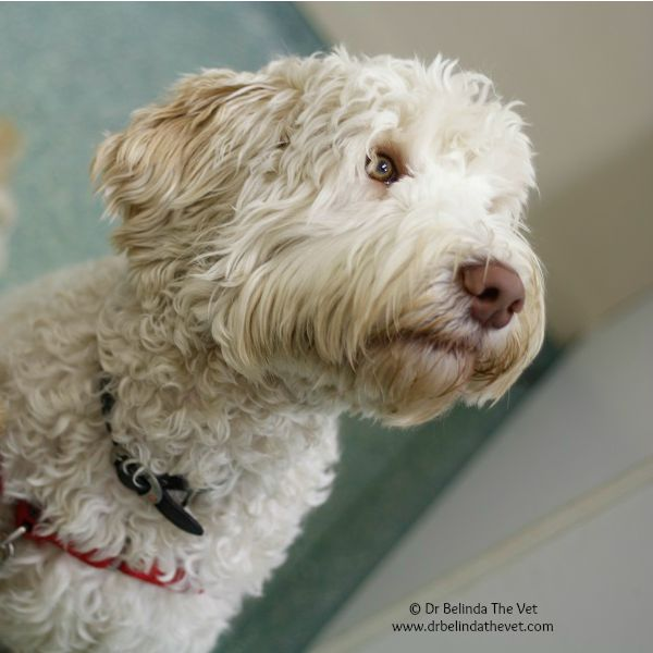Archie is a #Taloodle! Taloodes are therapy and assistance #labradoodles that do wonderful work with disabled children making a huge difference in their lives