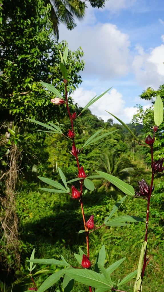 Sorrel. A delicious drink around Xmas time in the Caribbean. Click to learn more about the native plants of #Dominica. #sorrel #spice