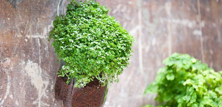 Coltivare l'Helxine: Perfetta in appartamento o appesa, l'Helxine viene dalla Corsica: è una pianta mediterranea sempreverde che cresce rapidamente e, in breve tempo, costituisce densi tappeti alti pochi centimetri che d'estate si impreziosiscono di fiorellini rotondi di colore bianco rosato