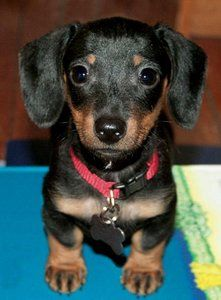 U know U love me..just look at me.. In love with the doxie..4 sure.