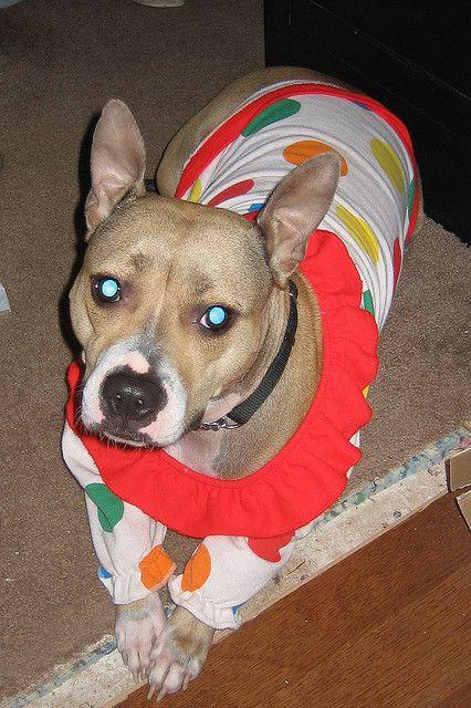 bullysmiles:  DOGONE CLOWN by clarklandmanagement on Flickr.#pitbulls #dog breeds #canine pet #dogs #pitbull puppy #pitbull dog #pitbull breeds #red nose pitbull #pitbull terrier #apbt #staffordshire terrier #amstaff #english terrier #black pitbull #moo moo pit #chocolate pitbull #pitbull poodle #blue nosed pit #pitbull mutt #mans best friend #4 month old pitbull