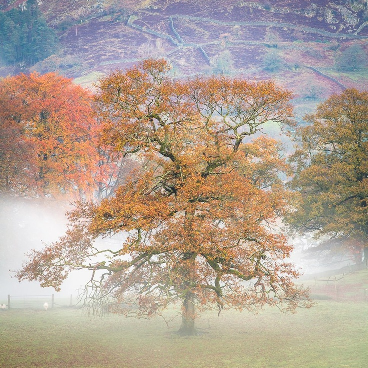 A tree in the early morning mist, holding on to its leaves in Rydal Field with Nab Scar as a backdrop