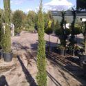 Italian Cypress (Cupressus Sempervirens Pyramidalis 5ft 6in - 168cm inc pot height